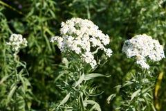 Flores brancas pequenas Imagens de Stock Royalty Free