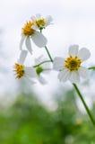 Flores brancas pequenas Fotos de Stock Royalty Free