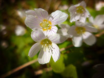 Flores brancas pequenas Fotografia de Stock Royalty Free
