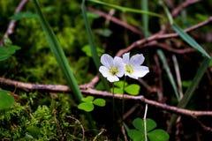 Flores brancas pequenas Imagem de Stock Royalty Free