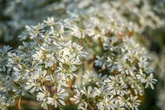Flores brancas pequenas Fotografia de Stock