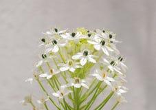 Flores brancas pequenas bonitas de florescência do galho verde Fotos de Stock
