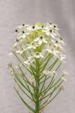 Flores brancas pequenas bonitas de florescência do galho verde Imagem de Stock Royalty Free