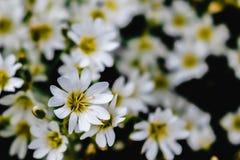 Flores brancas pequenas da floresta em um fundo preto foto de stock