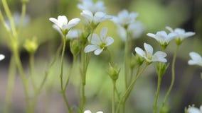 Flores brancas pequenas da mola Macro com foco macio seletivo video estoque
