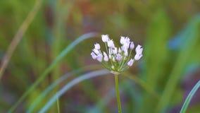 Flores brancas pequenas de florescência de cebolas selvagens ou do rato filme