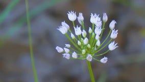 Flores brancas pequenas de florescência de cebolas selvagens ou do rato video estoque