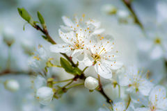 Flores brancas pequenas de uma árvore de fruto Fotografia de Stock Royalty Free