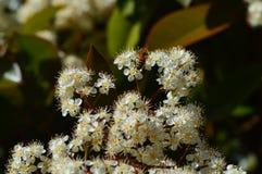 Flores brancas pequenas do grupo com abelha Foto de Stock Royalty Free