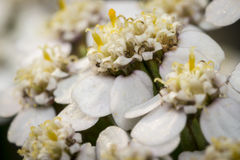 Flores brancas pequenas em um jardim Fotos de Stock