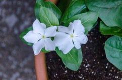 Flores brancas pequenas em um potenciômetro foto de stock royalty free