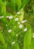 Flores brancas pequenas em uma floresta Foto de Stock Royalty Free