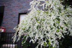Flores brancas pequenas japonesas bonitas em casa Fotos de Stock Royalty Free