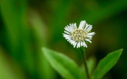 Flores brancas pequenas no verde Foto de Stock Royalty Free