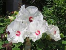 Flores brancas perfeitas do hibiscus Foto de Stock Royalty Free