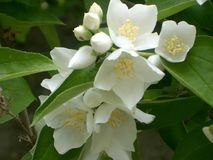 Flores brancas puras no jardim Foto de Stock