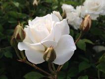 Flores brancas que florescem com folhas verdes Fotos de Stock
