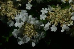 Flores brancas redondas do cranberrybush americano no fundo escuro Imagens de Stock Royalty Free