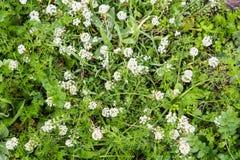 Flores brancas selvagens em Sardinia fotografia de stock royalty free