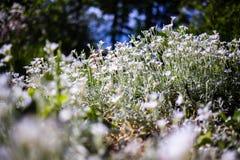 Flores brancas selvagens pequenas Fotografia de Stock