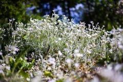 Flores brancas selvagens pequenas Foto de Stock Royalty Free