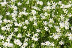 Flores brancas selvagens pequenas que florescem na mola Fotos de Stock
