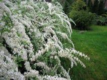 Flores brancas spirea Fotografia de Stock Royalty Free