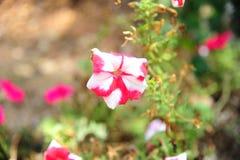 Flores brancas vermelhas listradas heterogêneos Fotos de Stock Royalty Free