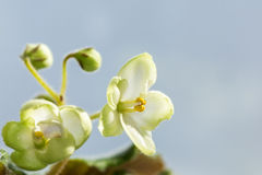 Flores brancas violetas Imagens de Stock