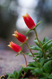 Flores brandamente pouco vermelhas e amarelas Foto de Stock