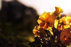 Flores brilhantes amarelas no por do sol Fotografia de Stock