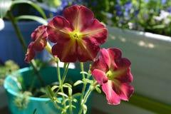 Flores brilhantes bonitas do petúnia em plenos verões Balcão que esverdeia com plantas decorativas imagem de stock
