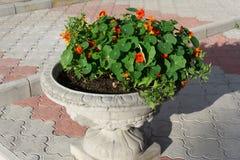Flores brilhantes da chagas com as folhas coloridas verdes ilustração stock