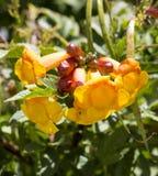 Flores brilhantes da trombeta amarela Bush dos stans de Tecoma Fotografia de Stock