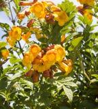 Flores brilhantes da trombeta amarela Bush dos stans de Tecoma Fotos de Stock