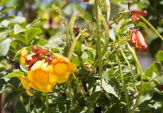 Flores brilhantes da trombeta amarela Bush dos stans de Tecoma Imagens de Stock Royalty Free
