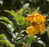 Flores brilhantes da trombeta amarela Bush dos stans de Tecoma Foto de Stock