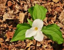 Flores brilhantes de uma grande planta branca do trillium em uma floresta da mola Imagens de Stock Royalty Free