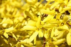 Flores brilhantes do forsítia Fotos de Stock