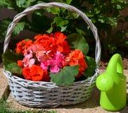 Flores brilhantes do gerânio em uma cesta imagem de stock