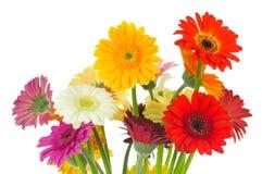 Flores brilhantes do gerber imagens de stock