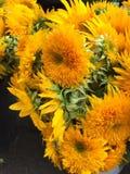 flores brilhantes e ensolaradas bonitas Foto de Stock Royalty Free