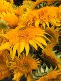 flores brilhantes e ensolaradas bonitas Imagem de Stock