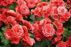 Flores brilhantes numerosas de begônias tuberosas Foto de Stock