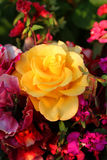 Flores brilhantes Rosa Fotos de Stock Royalty Free