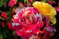 Flores brilhantes Rosa Fotografia de Stock Royalty Free