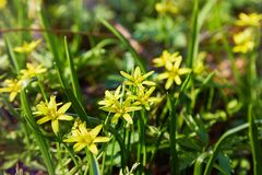 Flores brillantemente amarillas del Gagea de florecido en un prado de la primavera fotografía de archivo libre de regalías