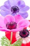 Flores brillantes de la anémona Imagen de archivo libre de regalías