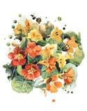 Flores brillantes de la capuchina de jardín en tonos anaranjados ilustración del vector