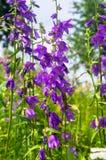 Flores brillantes de la lila del bellflower o del latifolia gigante de la campánula bajo luz del sol en fondo borroso fotografía de archivo libre de regalías